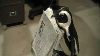 新聞を持ってくるペンギンが、健気でかわいすぎる!