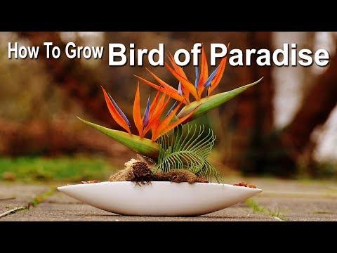 how-to-grow-bird-of-paradise-plant