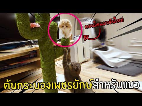 คอนโดแมวต้นกระบองเพชรยักษ์
