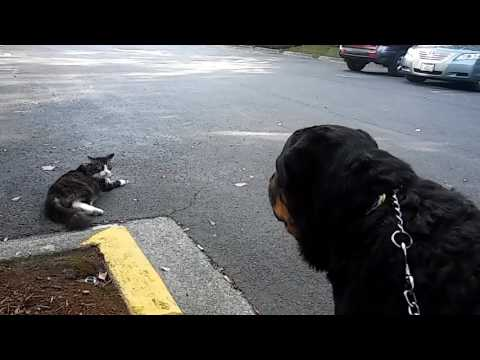 Rottweiler VS Cat pt2