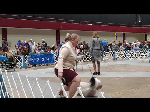 1.4.20 LOLKC Skye Terrier Best of Breed Conformation Show
