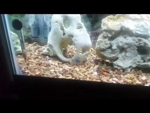 My Kirin Parrot Cichlid