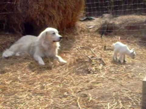 Ralph our Great Pyrenees taking care of his goats