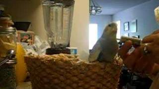 Download Video Hand feeding a hungry baby cockatiel MP3 3GP MP4