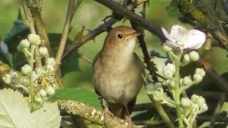 Download Nightingale ; Privighetoarea în concert (1) ; Luscinia megarhynchos ; Solo Nachtigall (Teil1)