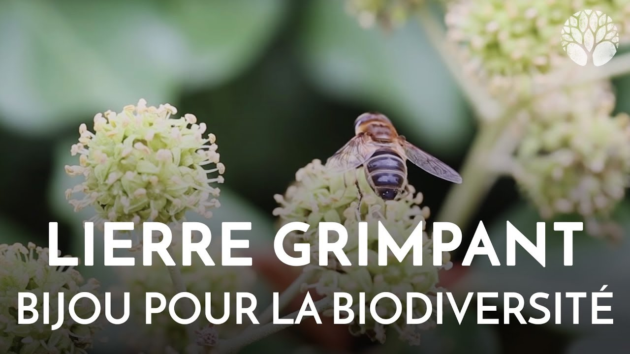 Lierre grimpant, un bijou pour la biodiversité