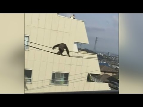 Chimp escapes Japan zoo and falls from power cables