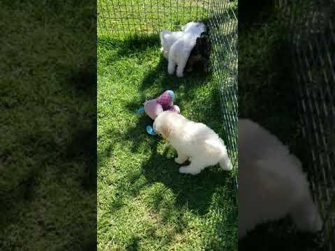 poochon / Bichoodle puppies