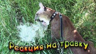 РЕАКЦИЯ ПУМЫ НА ТРАВКУ / Мейн Кун пристает к злюке