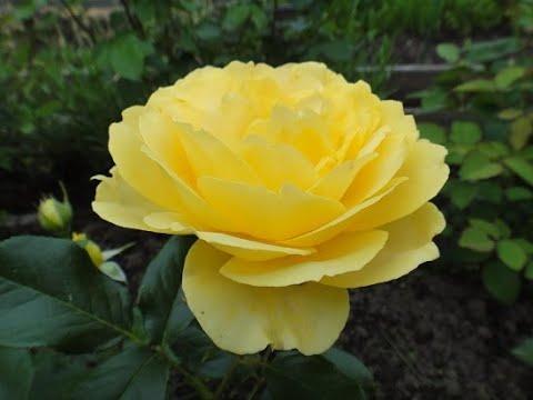 Прогулка по цветущему саду 29 июля 2020г./зацветают новые розы и второе цветение старых