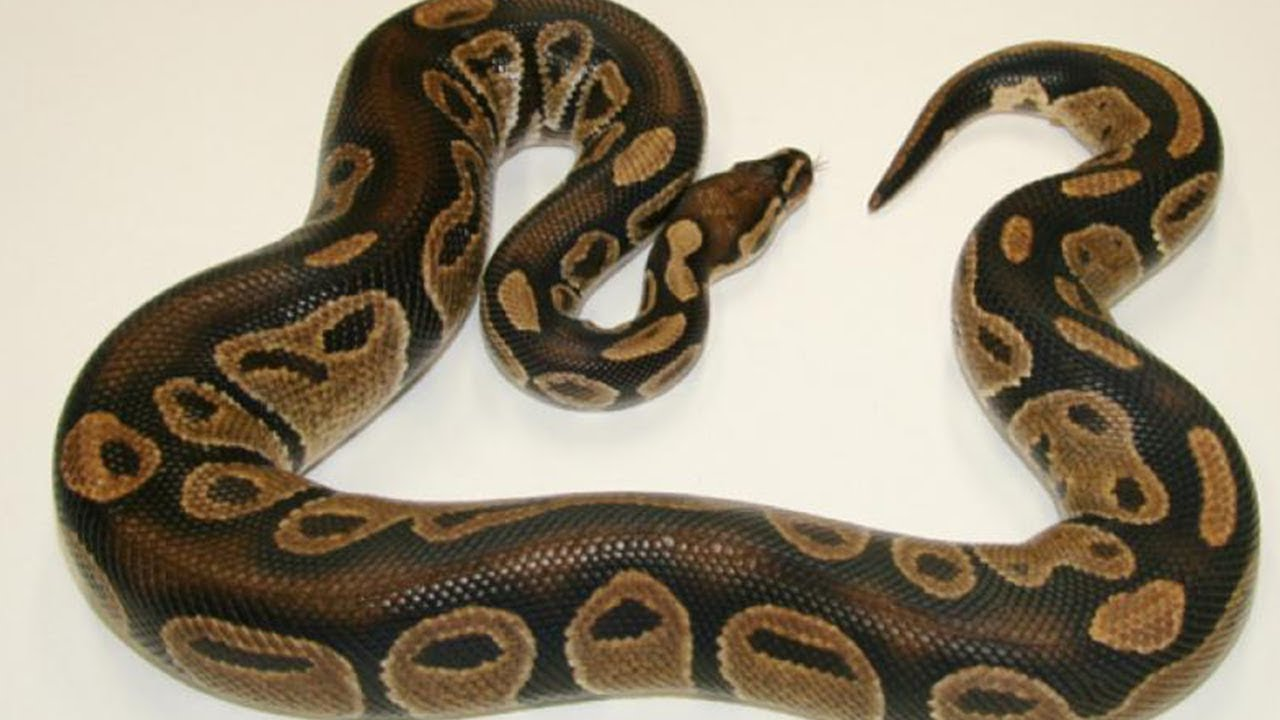 Did a Python Swallow a Woman in Indonesia?