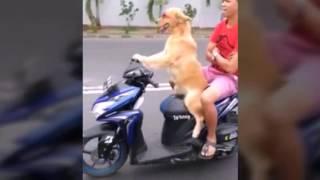 Anjing Super Gila 2016