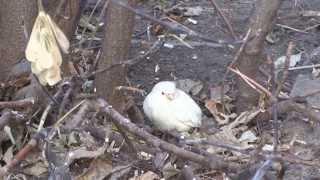 Белый воробей  появился в Тюмени (не похож на альбиноса?) (09.11.2013).