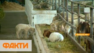Экологически безопасные растения и элитное мясо: на Киевщине работает прогрессивное хозяйство