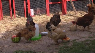 Silicon Valley chickens part of growing backyard coop trend