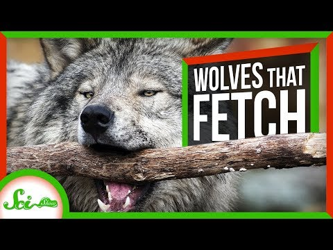 These Adorable Wolves Play Fetch – And Defy Dogma | SciShow News