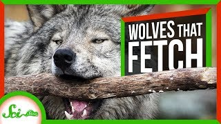These Adorable Wolves Play Fetch - And Defy Dogma | SciShow News