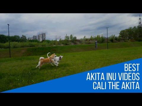 Best dog breed Akita Inu and Argentinian Mastiff Playtime  (Japanese Akita, 秋田犬)