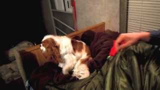 Annabelle, Cavalier King Charles Spaniel Puppy, Goes Camping