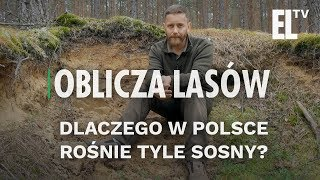 Dlaczego w Polsce rośnie tyle sosny?   Oblicza lasów #28