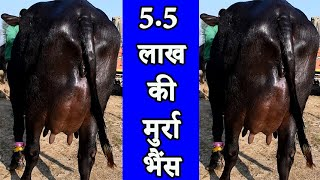5.5 लाख की मुर्रा भैंस l Top quality Murrah Buffalo at Kurali Mandi Punjab I मुर्रा हरियाणा