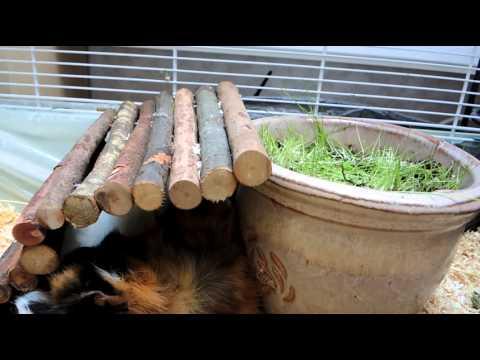 Guinea-pigs: Timi + Myška and flowerpot with grass
