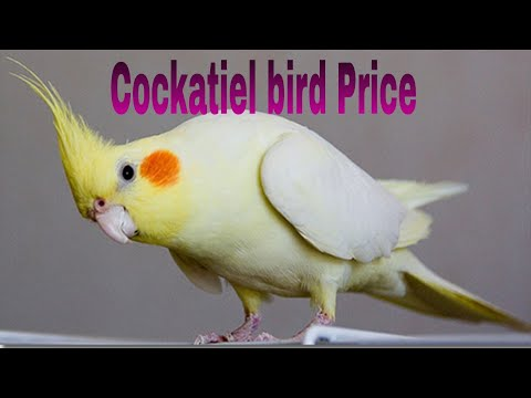 Top 14 Beautiful Cockatiel Bird Price (2019)