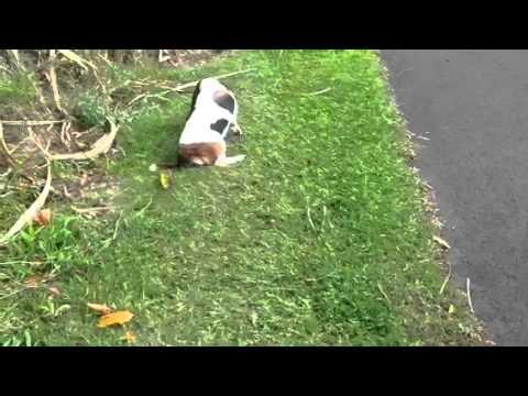dog sudden lameness in hind legs