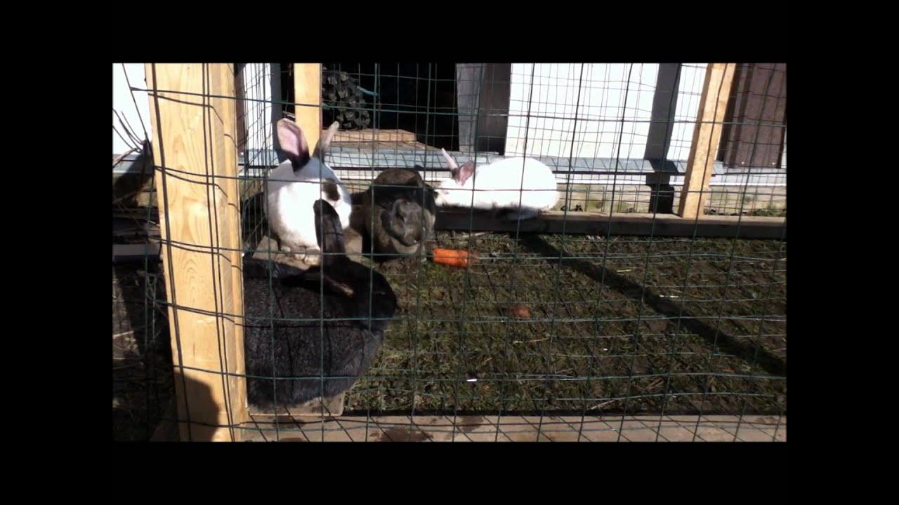 backyard rabbits ear mites youtube