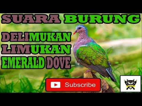 SUARA BURUNG | DELIMUKAN, LIMUKAN, PUNAI TANAH, TEKUKUR TANAH, EMERALD DOVE
