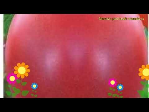 Томат обыкновенный Матреша. Краткий обзор, описание характеристик, где купить семена
