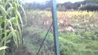 Rom beccato a rubare in un campo di grano