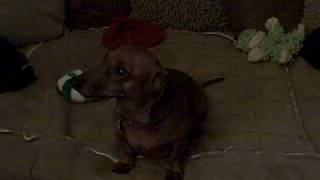 spoiled dachshund crying tantrum part 2