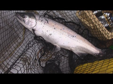 WA Fish Quest EP 43: Coho Salmon