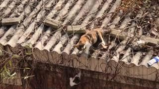 Video: Un GATO recrea una popular escena de la película 'El Rey León' al tirar a un 'rival' de un TEJADO