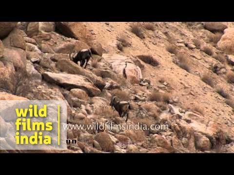 Bharals roaming in high Himalayas of Ladakh