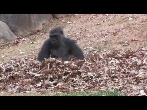Gorillas playing in leaves [Metal Edition]