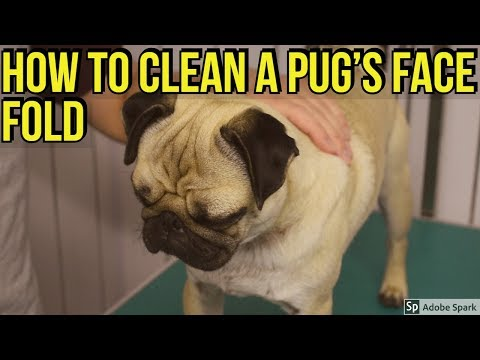 Pug nose fold cleaning tutorial -  Dog grooming video guide