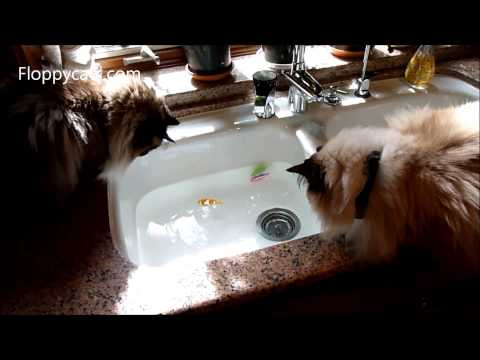 Ragdoll Cats Hobbs and Maddie Play with Zuru Robo Fish Toys - ラグドール - Floppycats