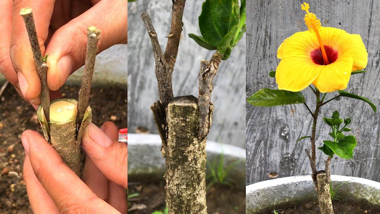 Ghép hoa dâm bụt màu vàng | Guide to transplant flowers hibiscus