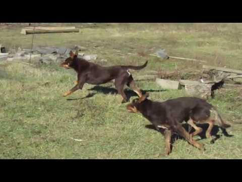 Австралийский келпи уроки пастьбы