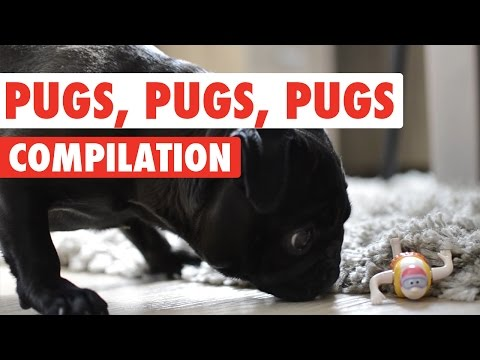 Pugs, Pugs, Pugs Video Compilation 2016
