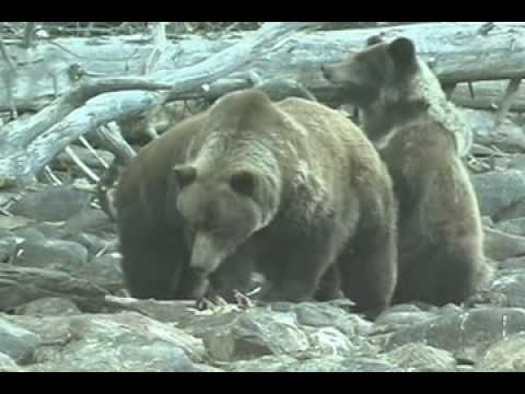 Coastal Grizzlies  (Ursus arctos horribilis)