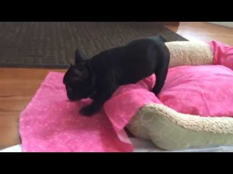 Winnie -The French Bulldog at 6 weeks old