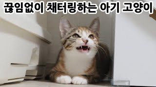 장난감만 보면 끊임없이 채터링하는 아기 고양이