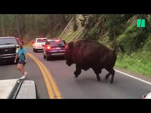 Cet homme a défié un bison du parc de Yellowstone et ça aurait pu très mal se terminer