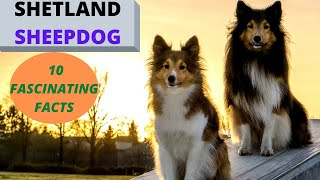 The Shetland Sheepdog  Watch before Getting One 10 Fascinating Facts!