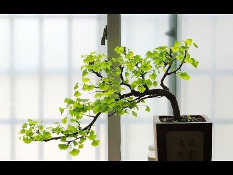 ginkgo bonsai tree youtube. Black Bedroom Furniture Sets. Home Design Ideas