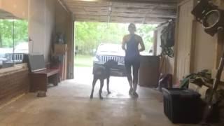 "10mo Rottweiler ""cash"" Teaching Stand Command - Olk9 Raleigh Durham Dog Training"
