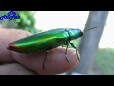 AMAZING Beautiful Jewel Beetle